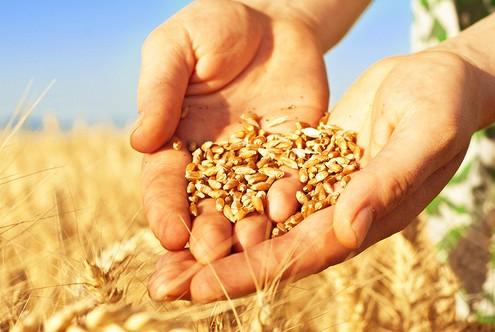 Россию ждет урожай зерна на уровне СССР