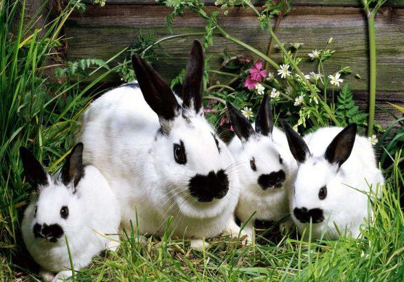 Как заниматься кролиководством